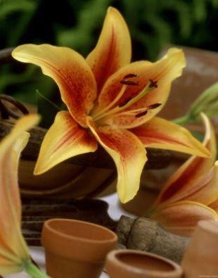 lily-garden